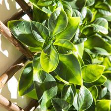 Besonders naturgetreu: Echten Orangenbaumblättern zum Verwechseln ähnlich.
