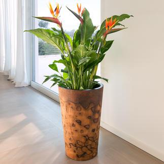 Palmholz-Pflanztopf Exotischer Pflanztopf. Oder aussergewöhnliche Bodenvase. Aus seltenem, argentinischem Palmholz.