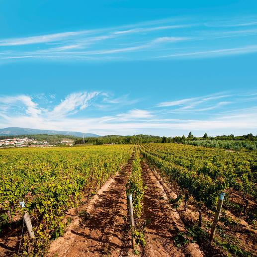 Vinho Rosé, Messias, Portugal Der ideale Hochsommer-Rosé. Nicht schwer. Wenig Alkohol. Aber 100 % Genuss.